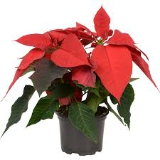 Weihnachtsstern Rot Topf ø Ca 105 Cm Euphorbia Pulcherrima