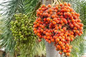 The 25 Best Palm Tree Fruit Ideas On Pinterest  Pineapple Tree Palm Tree Orange Fruit