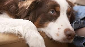 Süße hunde welpen hundewelpen tiere hund aussie welpen supersüßer welpe niedliche welpen hunde fotos hunde rassen süßeste haustiere. Hunderassen Alle Hunderassen Von A Z Mit Bild Und Namen