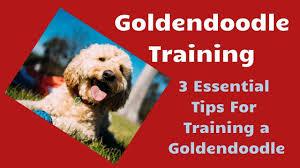 Labradoodle Designer Dogs Training A Goldendoodle 3 Critical Tips For This Popular Designer Dog