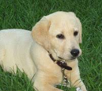yellow retriever puppies for