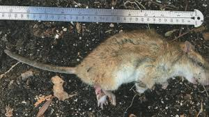 Oh Rats! More Green Bay neighborhoods report problems
