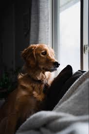 Golden retriever, Dog wallpaper
