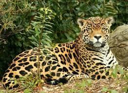 Endangered Animals In The Rainforest Rainforest Animals Jaguar Animal Endangered Animals