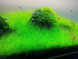Best Low Light Carpet Plant Best Carpet Aquarium Plants With Low Maintenance In Land