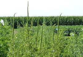 Palmer Amaranth Weed Scientists Provide Recommendations Regarding Palmer Amaranth