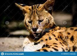Bello gatto del serval fotografia stock. Immagine di occhi - 150893442