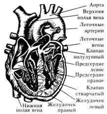 Кровообращение сердце и его строение