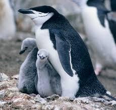 Пингвиновые — Википедия