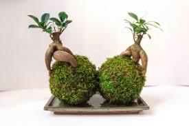 the bonsai ginseng
