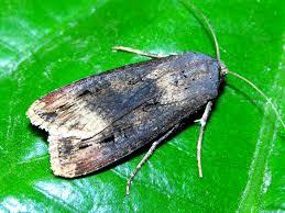Agrotis Ipsilon Lepidoptera Noctuidae Black Cutworm Flickr