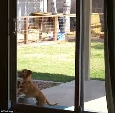 bernie the dog was ed earlier in the us trying to open a glass sliding door