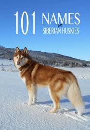 dark red husky puppy. Beautiful Puppy Great Ideas For Male Husky Names Female And Much More And Dark Red Husky Puppy E