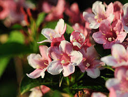 Flowering ShrubsShrub With Pink Flowers