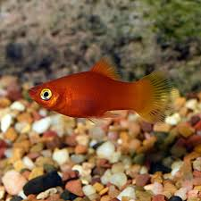 Platy Compatibility Chart Fw Red Platy