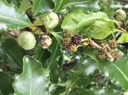 Plant And Tree Identification Help  Gardening Forum Green Fruit Tree Identification