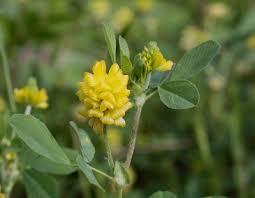 Trifolium campestre - Michigan Flora
