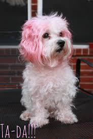 dog hair dye | Sarah Forshaw's Blog