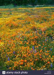 spring wildflowers blooming in san luis obispo county california