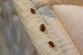 little black bugs in house what are