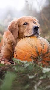 Golden Retriever Pet Dog Pumpkin 4K ...
