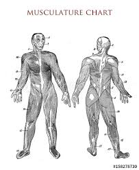 Human Body Muscle Chart Vintage Illustration Buy This