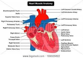 Human Heart Muscle Anatomy Infographic Chart Figure With All