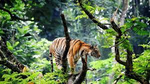 Tiger Is Standing On Tree Trunk In Blur ...
