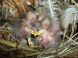 Baby Bird Age Chart European Starling Baby Growth Chart
