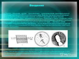 Презентация на тему Экзаменационная работа по биологии Реферат  3 Введение БАКТЕРИИ