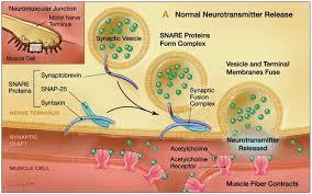 Botulinum toxin mechanism