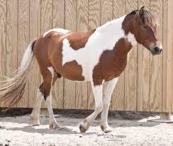Indian War Horse Paint Chart Pinto Horse Wikipedia