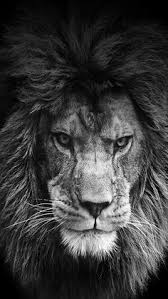 lion wallpaper black and white hd. Tier Wallpaper White Ideas Lion Tattoo King And Lioness On Black Hd