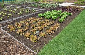 intensive planting in the vegetable