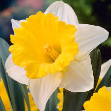 van zyverden daffodils bulbs goblet set of 12