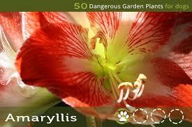 50 dangerous garden plants for dogs