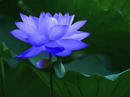 Resultado de imagem para imagens de flor de lotus