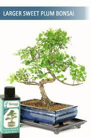 office bonsai. Sweet Plum Twisty Office Bonsai K