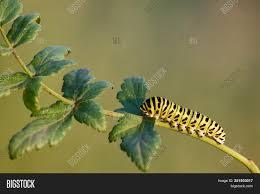 Yellow Caterpillar Identification Chart Caterpillar Common Image Photo Free Trial Bigstock