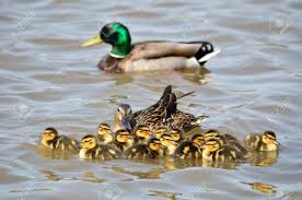 Image result for ducks and ducklings