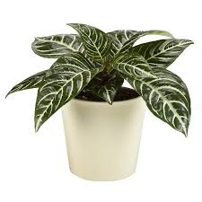 Exotic Angel Plants 1.25-Quart Zebra Plant (L02418hp)