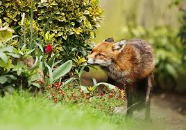 best fox deter for repelling foxes
