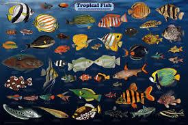 Samoan Fish Chart Details About Tropical Fish Laminated Aquarium Educational Science Class Chart Poster 24x36