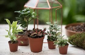 plants that can be grown in a terrarium