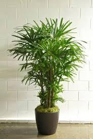 office pot plants. houstonu0027s online indoor plant u0026 pot store hawaiian rhapis palm office plants n