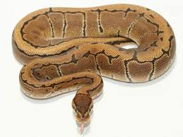 30 Beautiful Ball Python Morphs Colors With Pictures