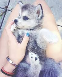 baby husky with blue eyes cute. Delighful Cute Cute Husky Puppy With Blue Eyes Intended Baby Husky With Blue Eyes Y