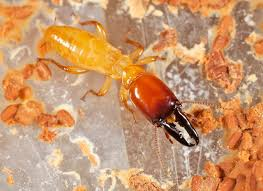 Image result for The Most Effective Drywood termite Control Methods