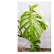 Casa Protea - New <b>fresh leaf</b> on our <b>Monstera</b> deliciosa... | Facebook