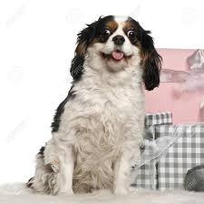 cavalier king charles sitting with gifts in front of white background stock photo 11612863